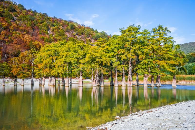 Cypressträd växer i sjövattnet arkivbilder