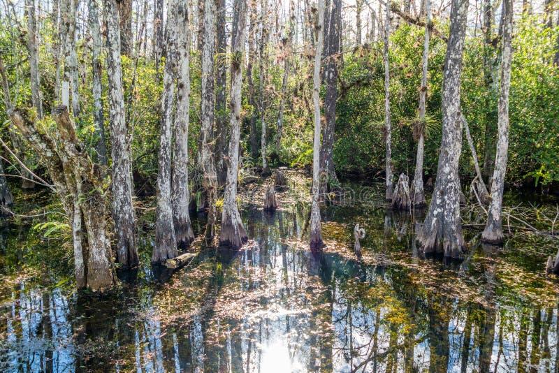 Cypressträsk längs öglasvägen i nationell reserv för stor cypress, E royaltyfria foton