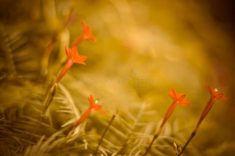 Cypressvinrankan, röda blommor klippte till den gröna bakgrunden arkivbilder