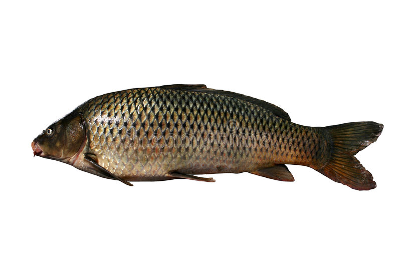 Cyprinus carpio stock photo
