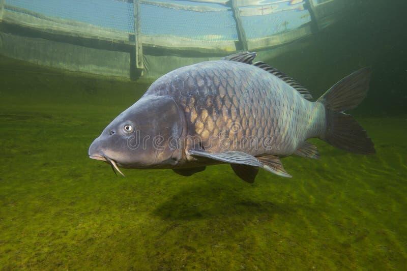 Cyprinus carpio della carpa del pesce di acqua dolce che nuota nella bella libbra pulita Colpo subacqueo fotografie stock libere da diritti