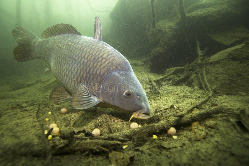 Cyprinus carpio della carpa del pesce di acqua dolce che si alimenta con il boilie immagini stock libere da diritti