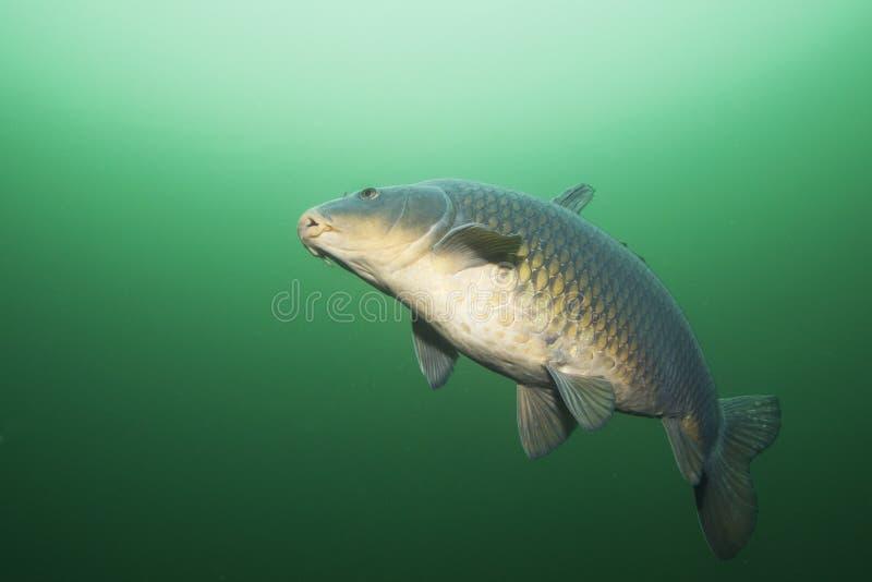 Cyprinus carpio della carpa del pesce di acqua dolce subacqueo fotografia stock