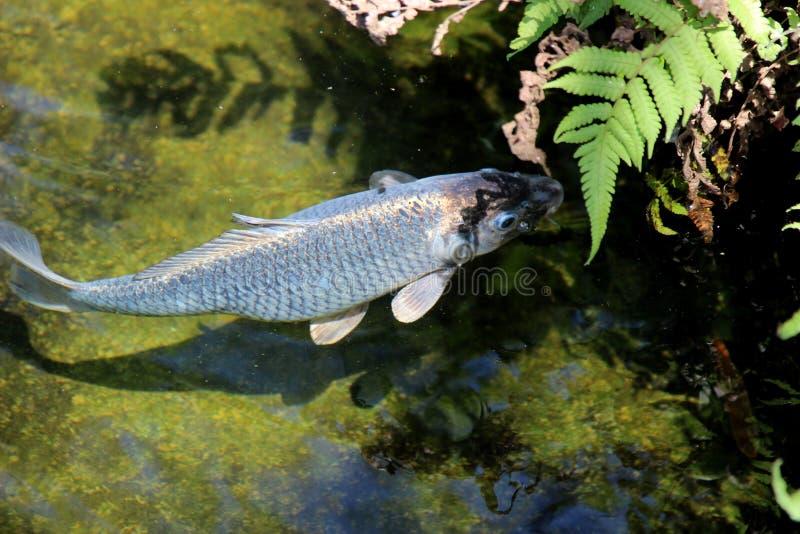 Cyprinus carpio die in het meer zwemmen royalty-vrije stock foto