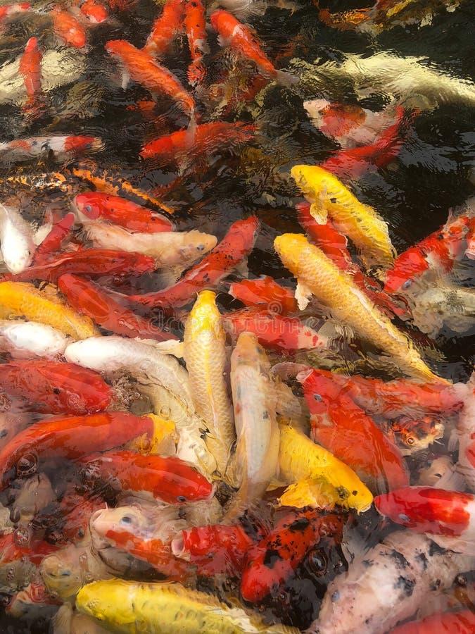 Cyprinus giapponese Carpio di Koi Carps Fish che nuota in uno stagno fotografia stock libera da diritti