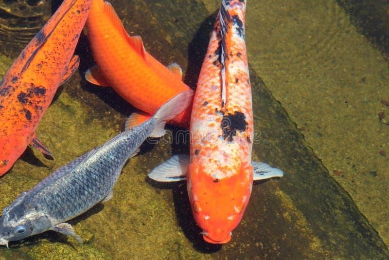 Cyprinuscarpio simning i sjön på solig dag fotografering för bildbyråer