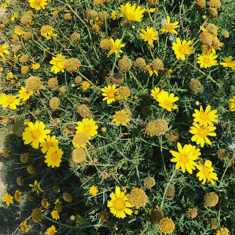 Cypriot yellow flowers stock photo