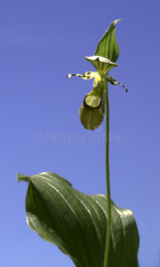 Cypripedium calceolus against the blue sky royalty free stock image
