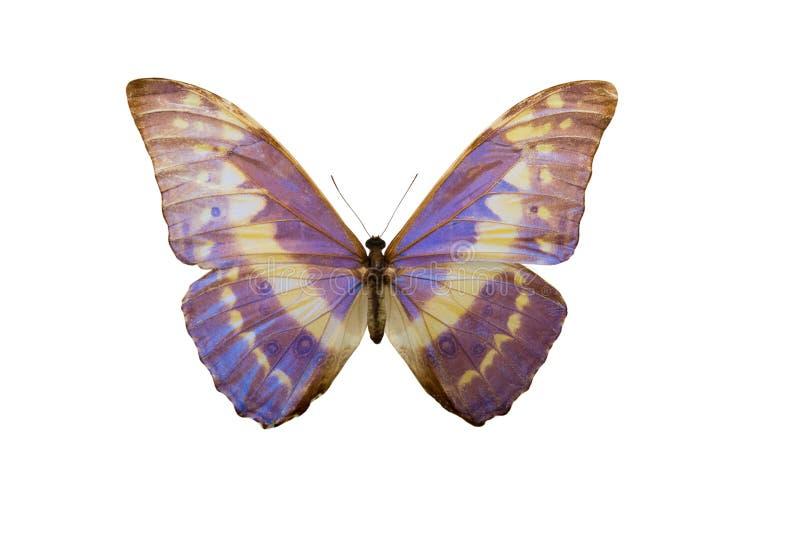 Cypris Morpho πεταλούδων, στοκ φωτογραφίες