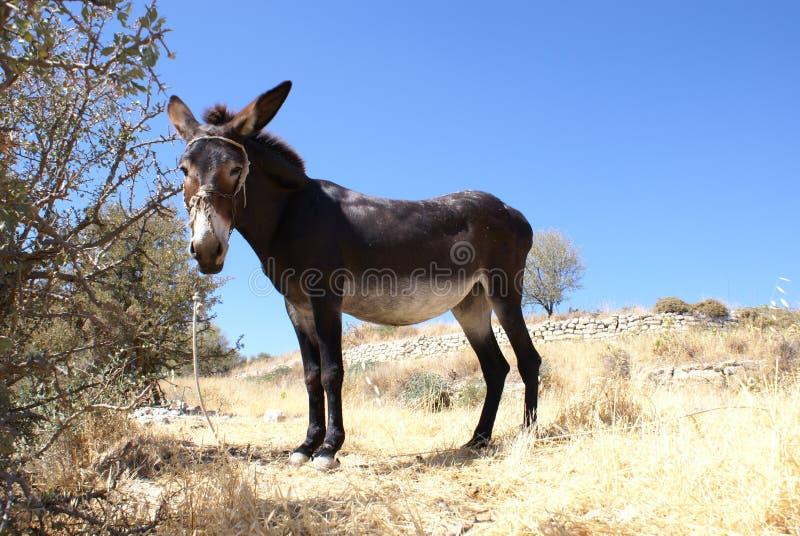 cyprus åsna royaltyfria bilder