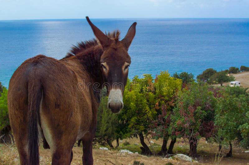 Cyprus donkey. Beautiful donkey standing over picturesque Akamas area near Aphrodites bath, Cyprus