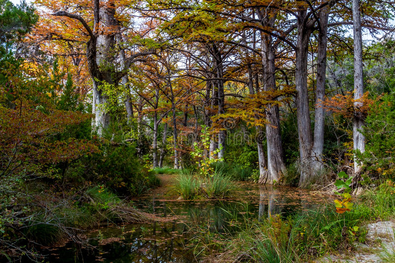 Cypress Trees on Hamilton Creek. Colorful Cypress Trees with Beautiful Fall Foliage on Tranquil Hamilton Creek Covered with Cyprus Leaves near Hamilton Pool stock photo
