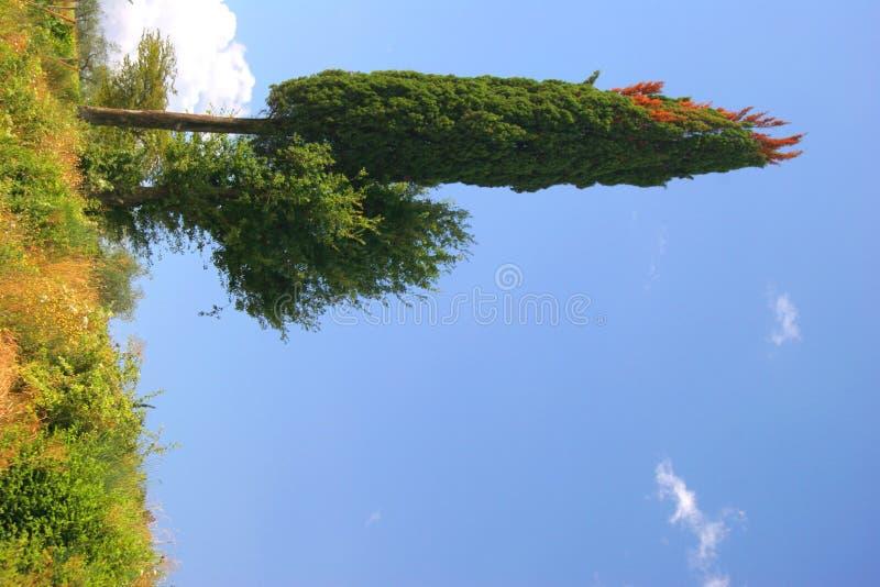 cyprys zdjęcie royalty free