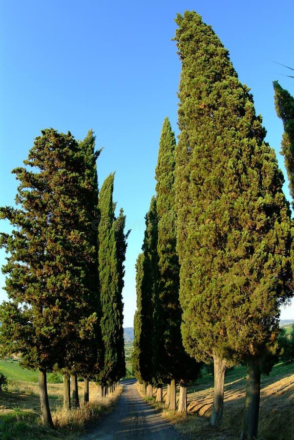 cyprys avenue, fotografia stock
