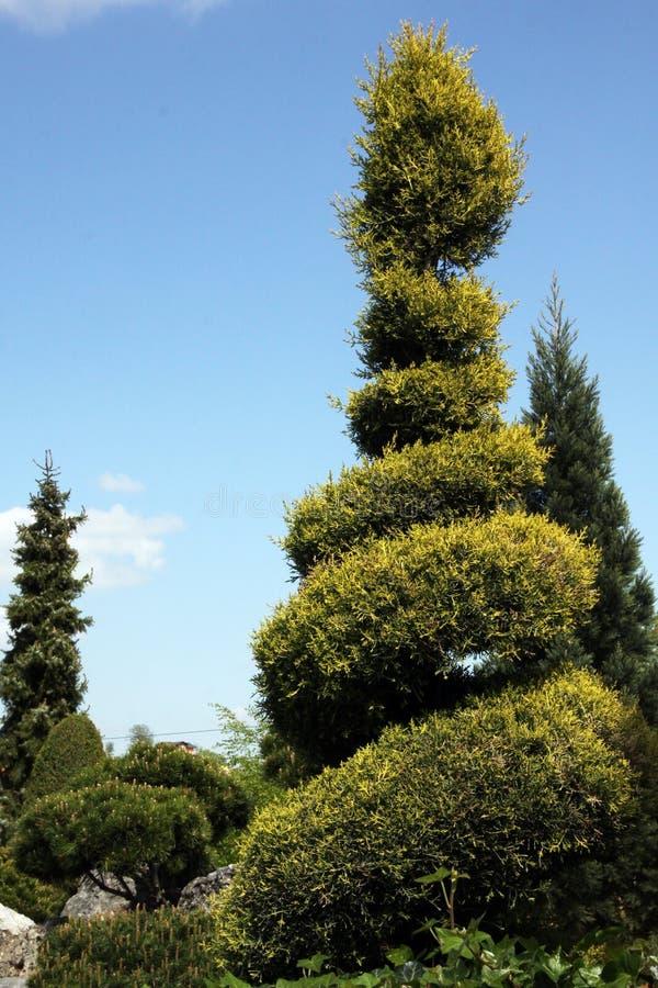 Cyprys pięknie projektujący w spirali obraz royalty free