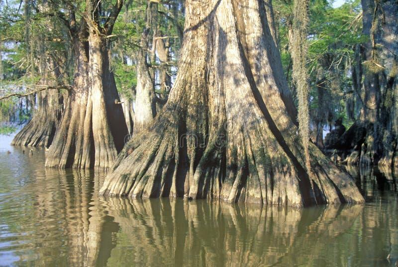 Cyprysowi drzewa w zalewisku, Jeziorny Fausse Pointe stanu park, Luizjana zdjęcie royalty free