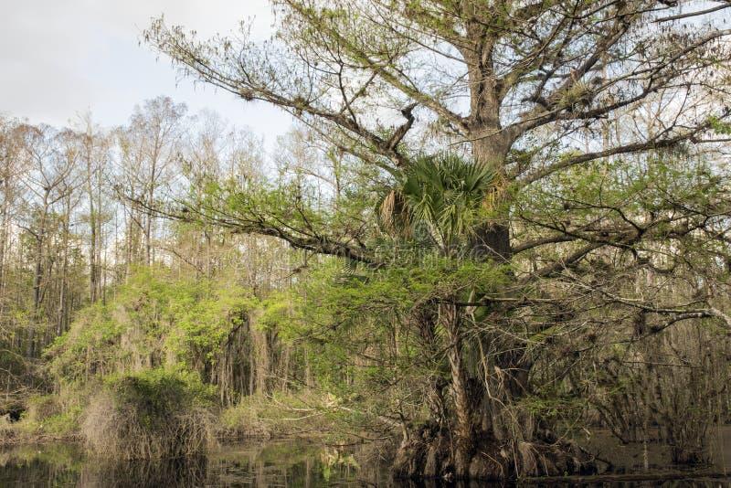 Cyprysowy drzewo Na bagnie Przy Lenieje prezerwę zdjęcie royalty free
