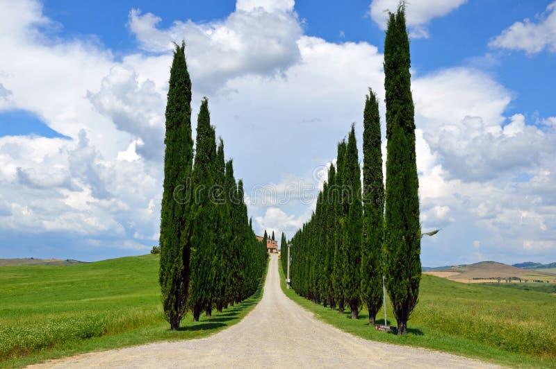 Cyprysowych drzew rzędy fotografia stock