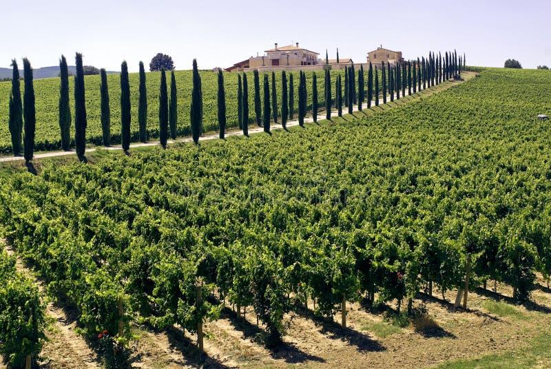 cyprysy uprawiają ziemię Umbria winniców zdjęcie stock