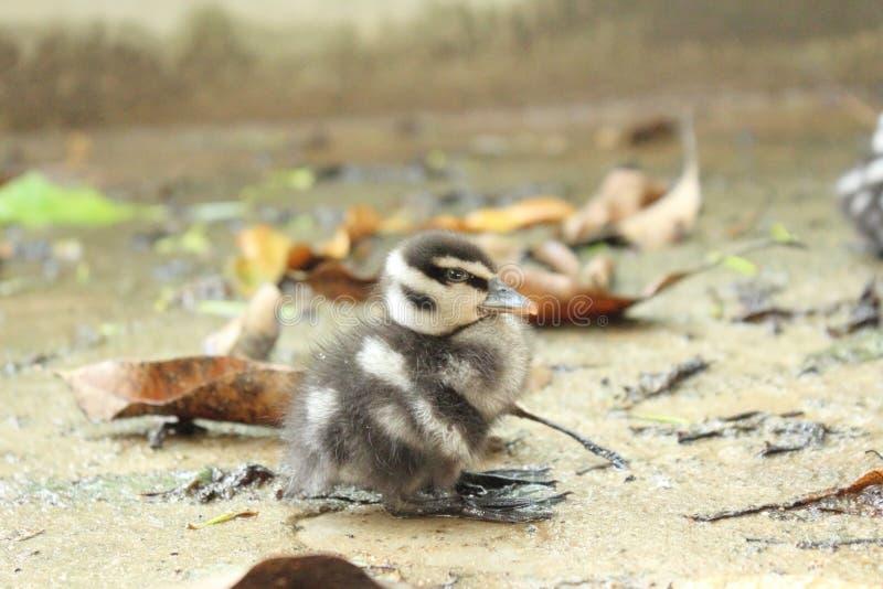 Cyraneczki kaczka zdjęcie stock