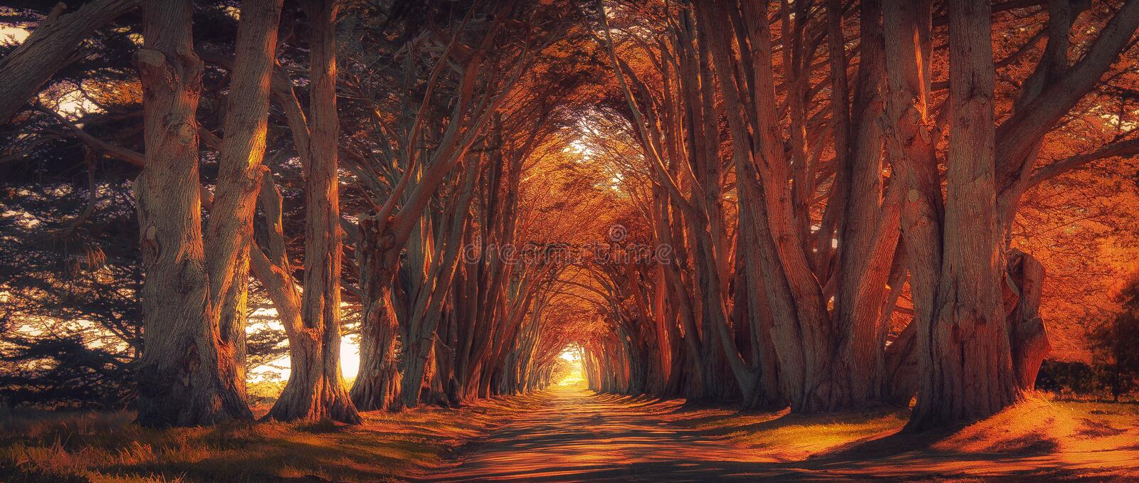 Cyrpus tree tunnel at Sunset. The historic cyrpus tree tunnel in California at sunset royalty free stock photo