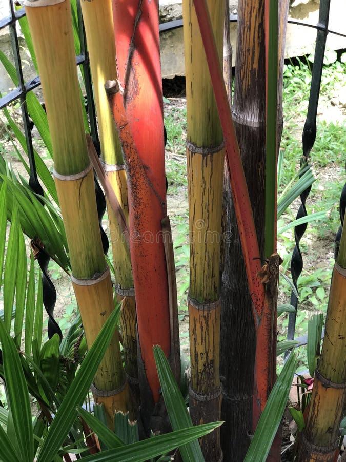 Cyrtostachys renda或红色封印棕榈 免版税库存照片