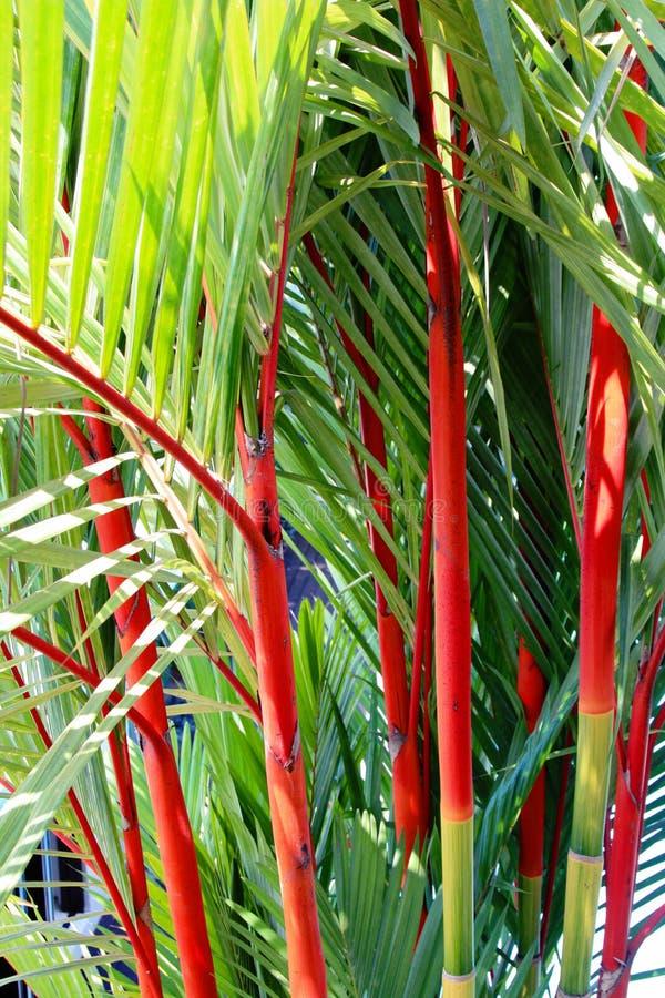 Cyrtostachys renda lub pomadki palma obraz stock