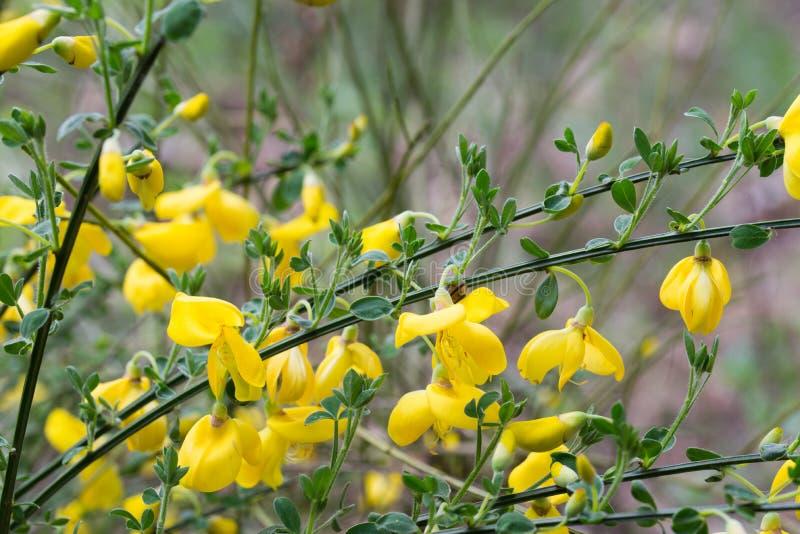 Cytisus, цветки веников желтые на хворостине стоковые фотографии rf