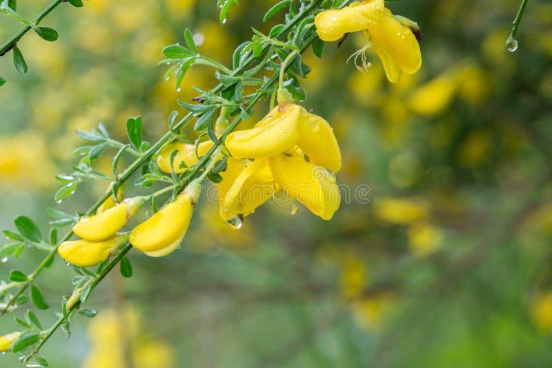 Cytisus, цветки веников желтые на хворостине стоковое изображение rf