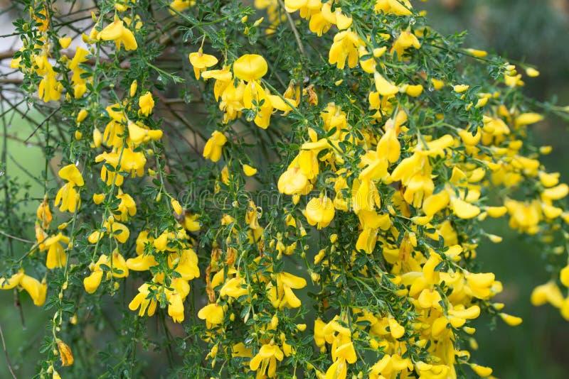Cytisus, цветки веников желтые на хворостине стоковые изображения rf