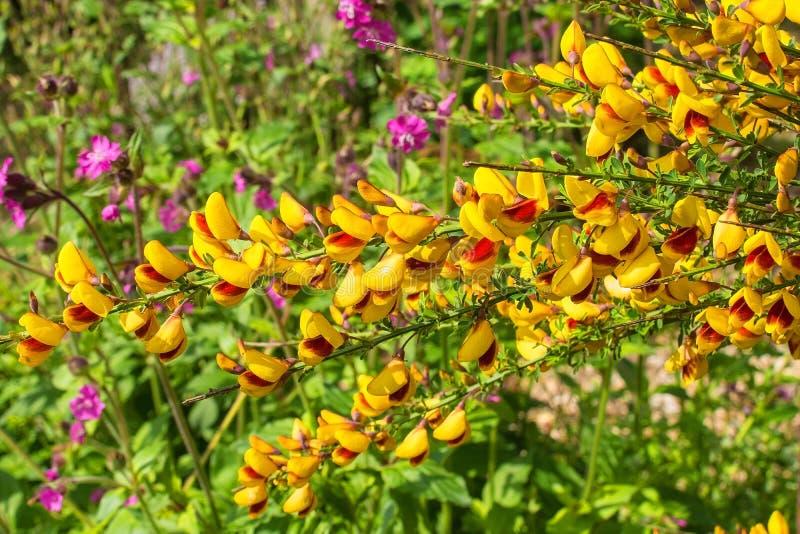 Cytisus jaune et rouge Scoparius images libres de droits