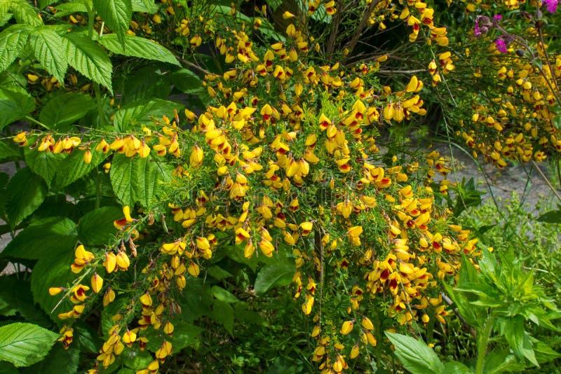 Cytisus jaune et rouge Scoparius photo stock