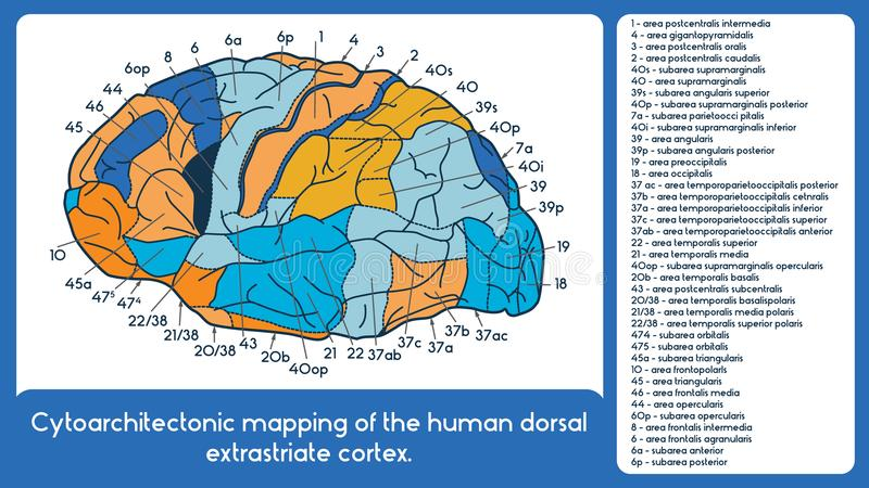 Cytoarchitectonic mapping of the human dorsal extrastriate cortex. vector illustration
