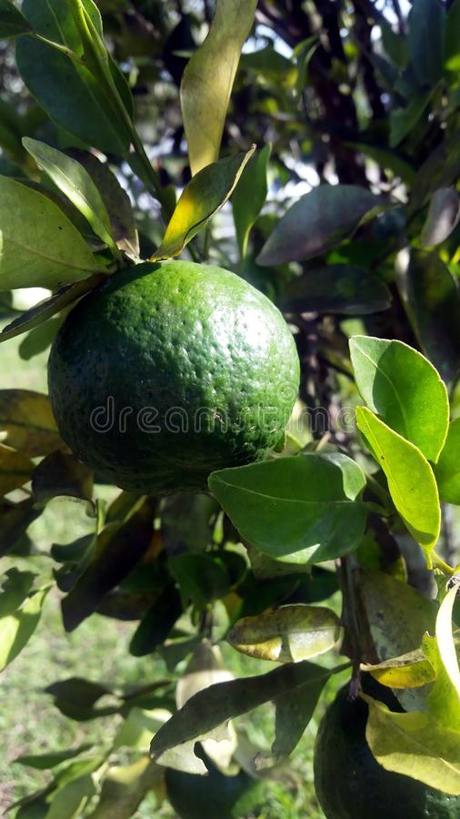 Cytrus owoc ponkan zdjęcia stock
