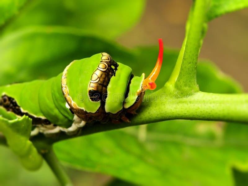 Cytrusa Swallowtail motylia gąsienica 1 fotografia stock