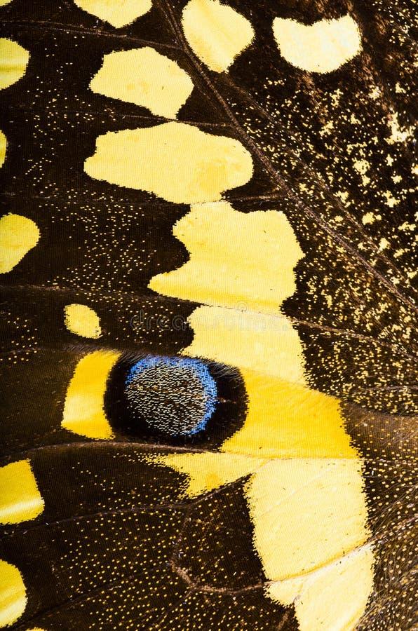 Cytrusa swallowtail Papilio demodocus motyla tło fotografia stock