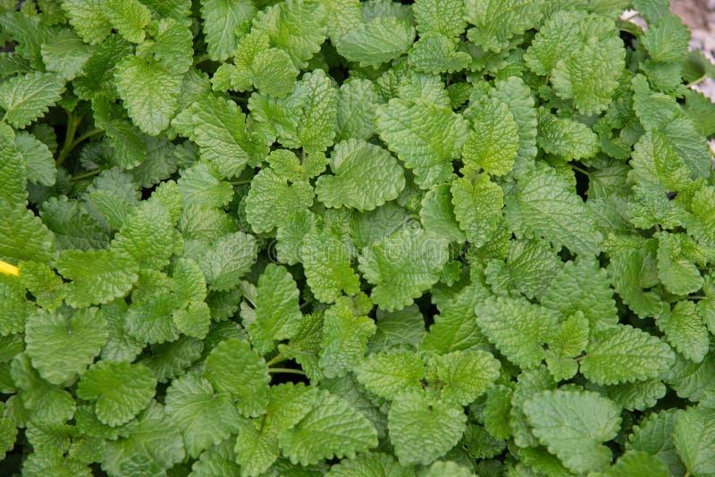 Cytryna balsamu Melissa officinalis s? odwiecznie zielnym ro?lin? Labiateae rodzina obraz royalty free