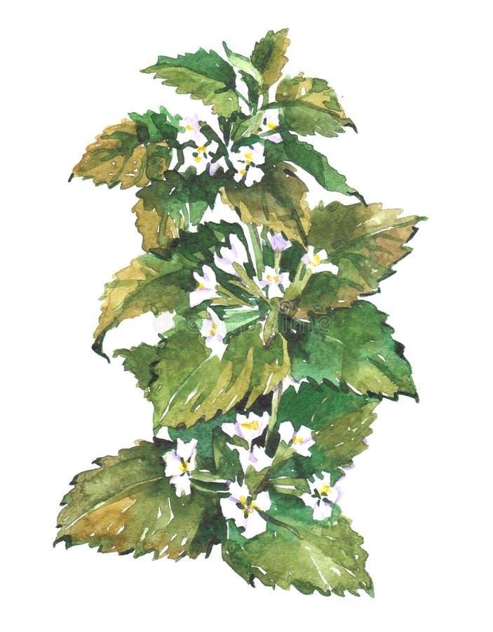 Cytryna balsamu mennicy rośliny akwareli ilustracja ilustracja wektor