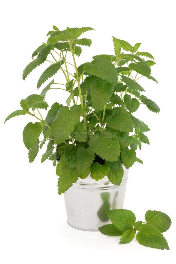 Cytryna balsamu roślina obraz royalty free