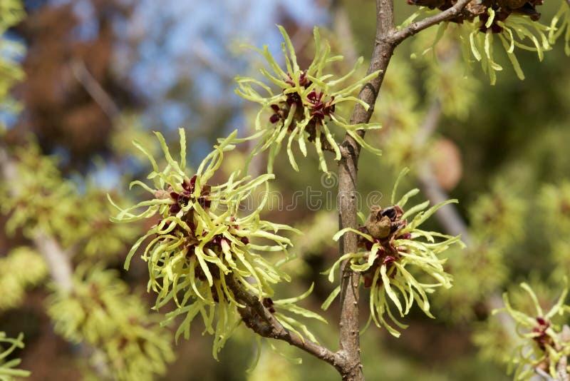 Cytryna barwił czarownicy leszczyny kwiatu w wczesnej wiośnie obrazy stock