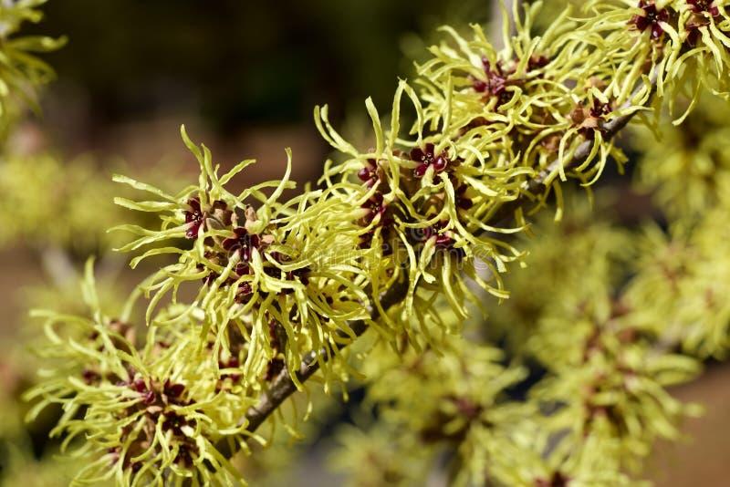 Cytryna barwił czarownicy leszczyny kwiatu w wczesnej wiośnie zdjęcie royalty free