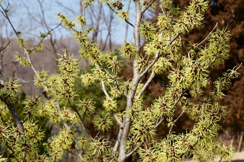 Cytryna barwił czarownicy leszczyny kwiatu w wczesnej wiośnie zdjęcia stock