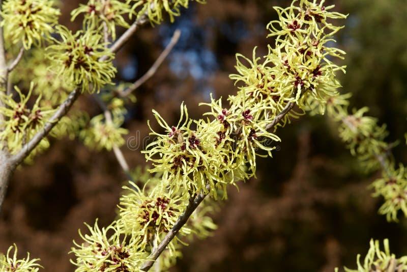 Cytryna barwił czarownicy leszczyny kwiatu w wczesnej wiośnie zdjęcia royalty free