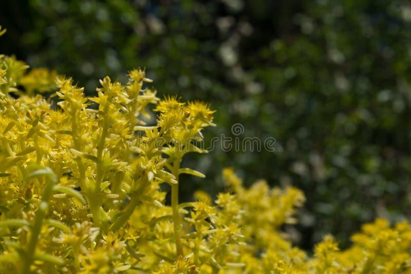 Cytryna Koralowy Sedum Kwitnie, fragrant, piękny kolor żółty, fotografia royalty free