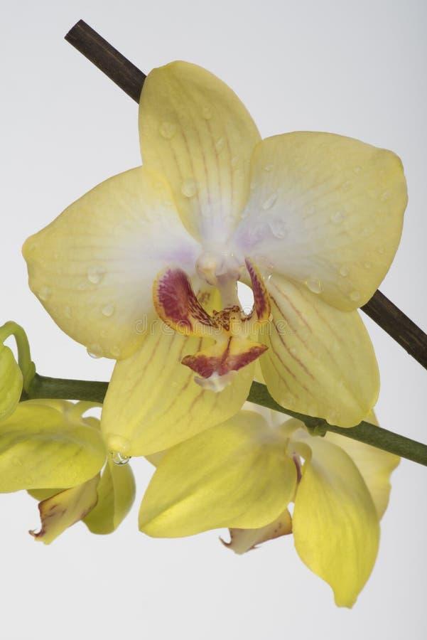 Cytryna kwiatu orchidea zdjęcia royalty free