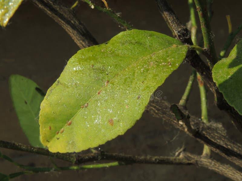 Cytryna liść atakujący korówkami zdjęcie royalty free