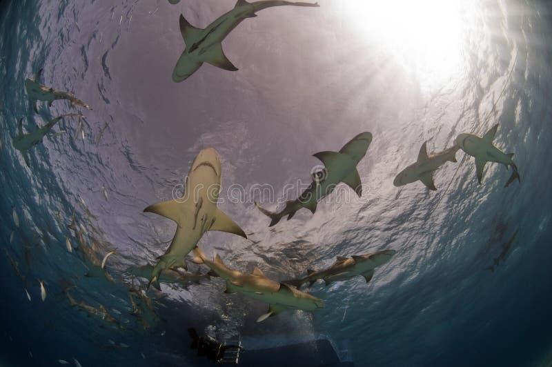 cytryna rekiny zdjęcia royalty free