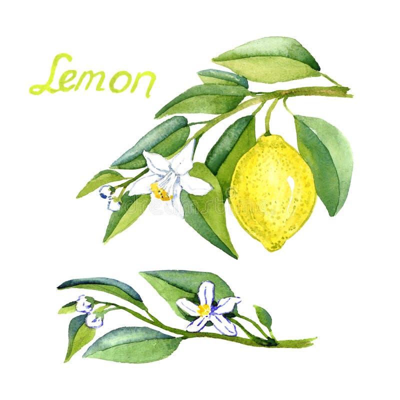 Cytryna rozgałęzia się z owoc i kwiatami ilustracja wektor