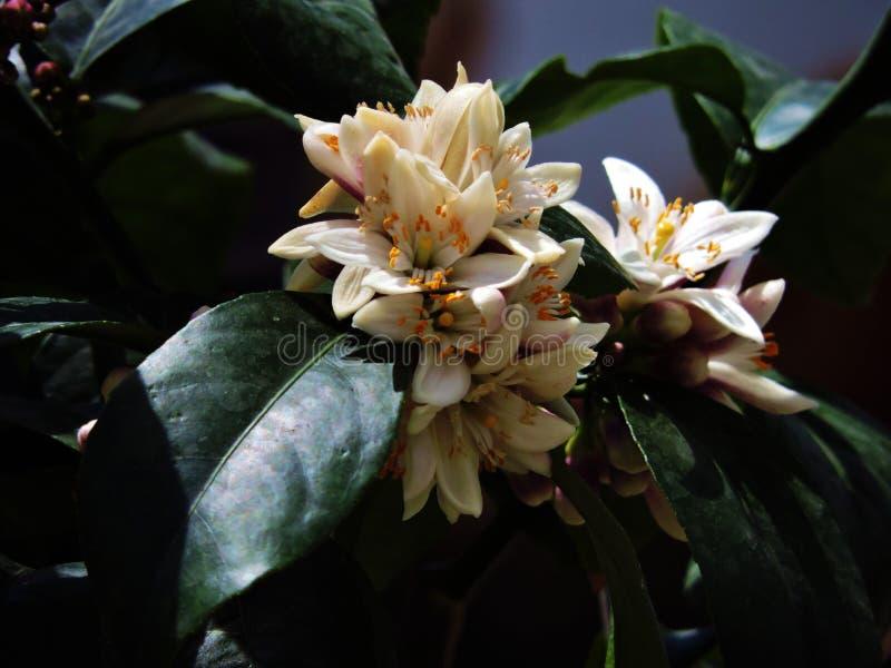 Cytrynowi kwiaty zdjęcia stock
