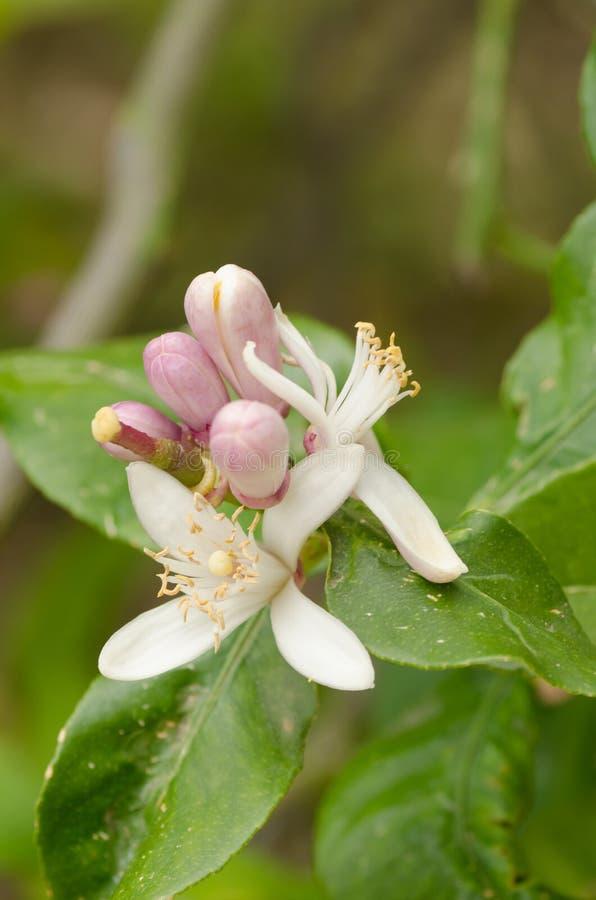 Cytryny drzewa kwiat zdjęcia royalty free